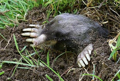 Townsend moles are the most common Pacific Northwest tunneler.