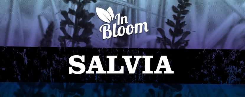 In Bloom Salvia
