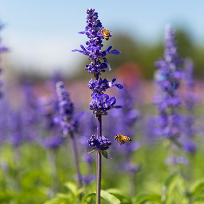 Pollinators love Salvia/Sage