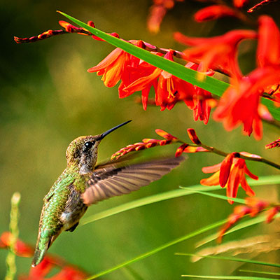 Pollinators love Crocosmia