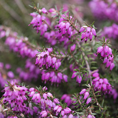 Heather september plant of the month mclendon hardware add some heather to your garden for a pop of color mightylinksfo