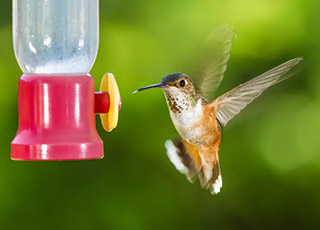 Attracting hummingbirds to your yard
