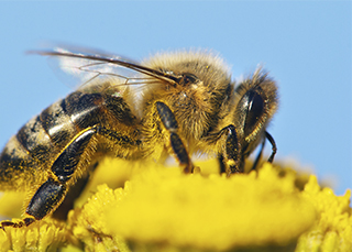 Honeybees pollinate one type of flower at a time