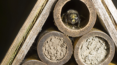 A queen will create about six egg chambers in a nesting tube