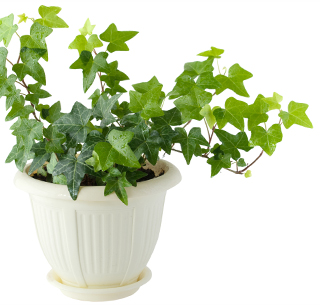 How To Take Care Of Hedera Helix