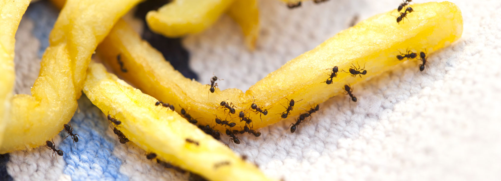 Small ants on french fries