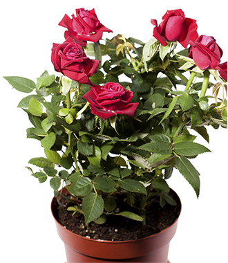 Care tips for Rosa roulettii, or R. chinensis minima