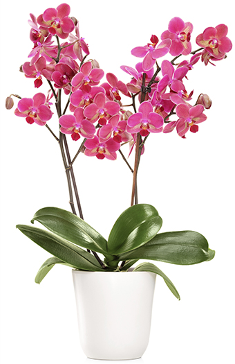 Top tricks to raising Phalaenopsis