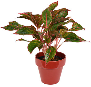 Best care tips for Aglaonema sp.