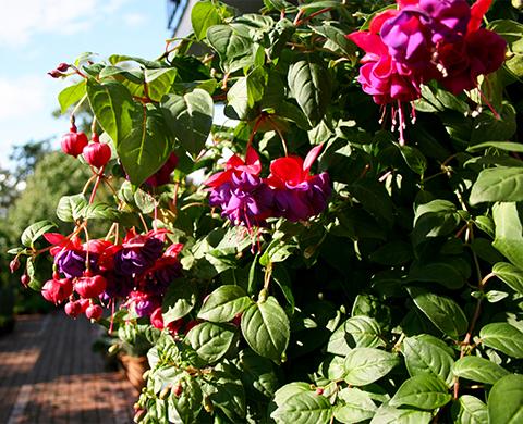 Blooming fuchsia baskets need regular feeding