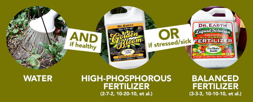 Water with high-phosphorous or balanced fertilizer