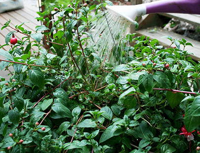 Water fuchsias every day, or sometimes twice a day