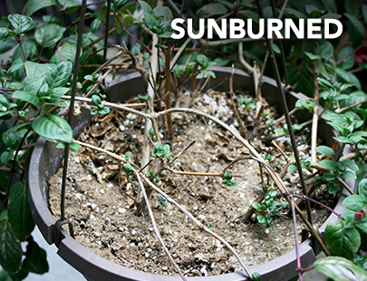 Sunburnt, scalded fuchsia basket