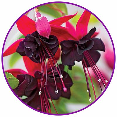 Black Fuchsia