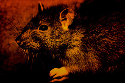 Rats! Critter control is easier than ever—in fact it's a snap!