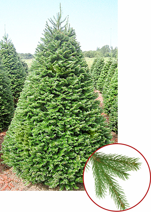 Grand Fir is the most fragrant Christmas tree