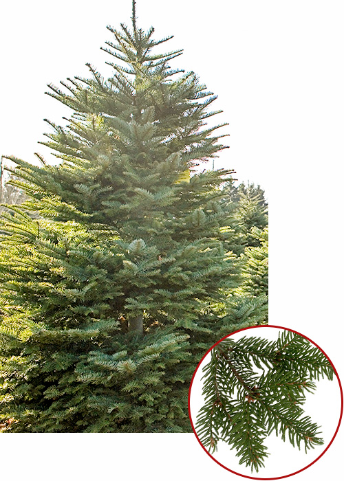 Noble Fir have the strongest branches and is our best seller