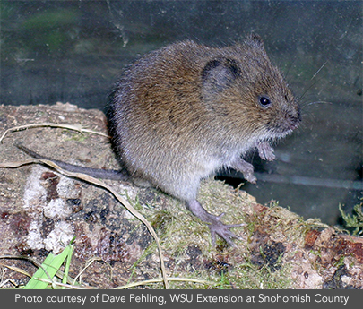 This Is A Townsend Vole