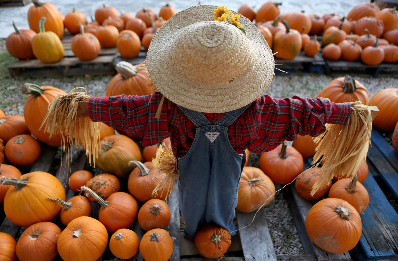 Scarecrow standing over pumpkins